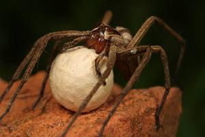 nursery spider with egg sack by macrojunkie