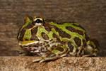 pacman frog 7