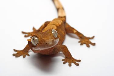 my pet gecko 3 by macrojunkie