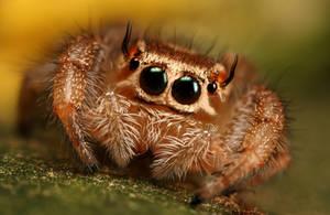 Jumping spider series 1 by macrojunkie