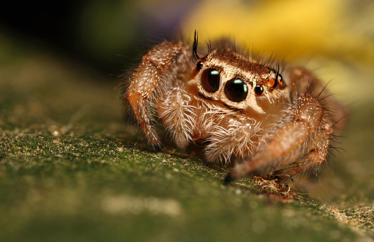 Cute Pics and other adorable things.  - Page 5 Jumping_spider_10_by_macrojunkie