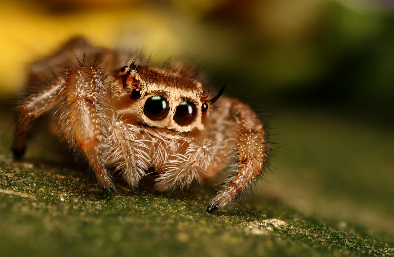 Cute jumping spider - photo#17
