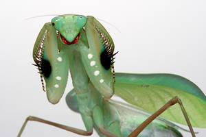 green congo mantis female by macrojunkie