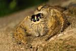 internet jumping spider