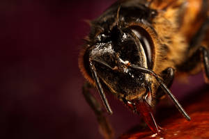 wild bee feeding on honey 2009