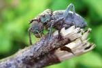 armoured ground cricket adult