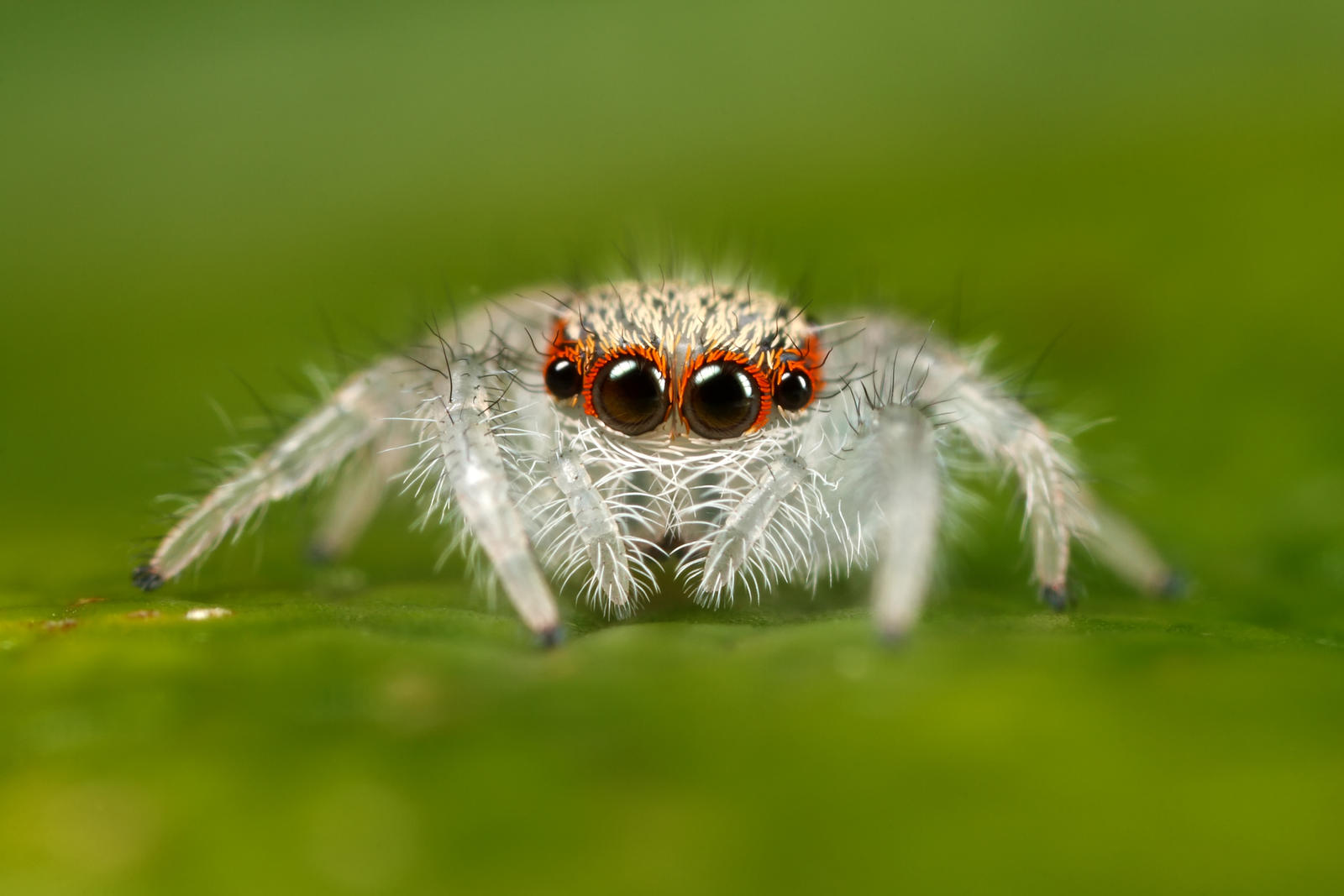 Image result for A white jumping spider
