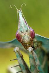 devil mantis 1 by macrojunkie