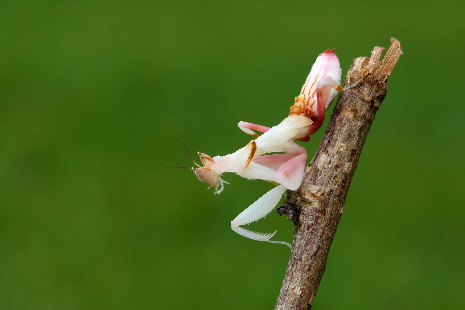 orhid mantis