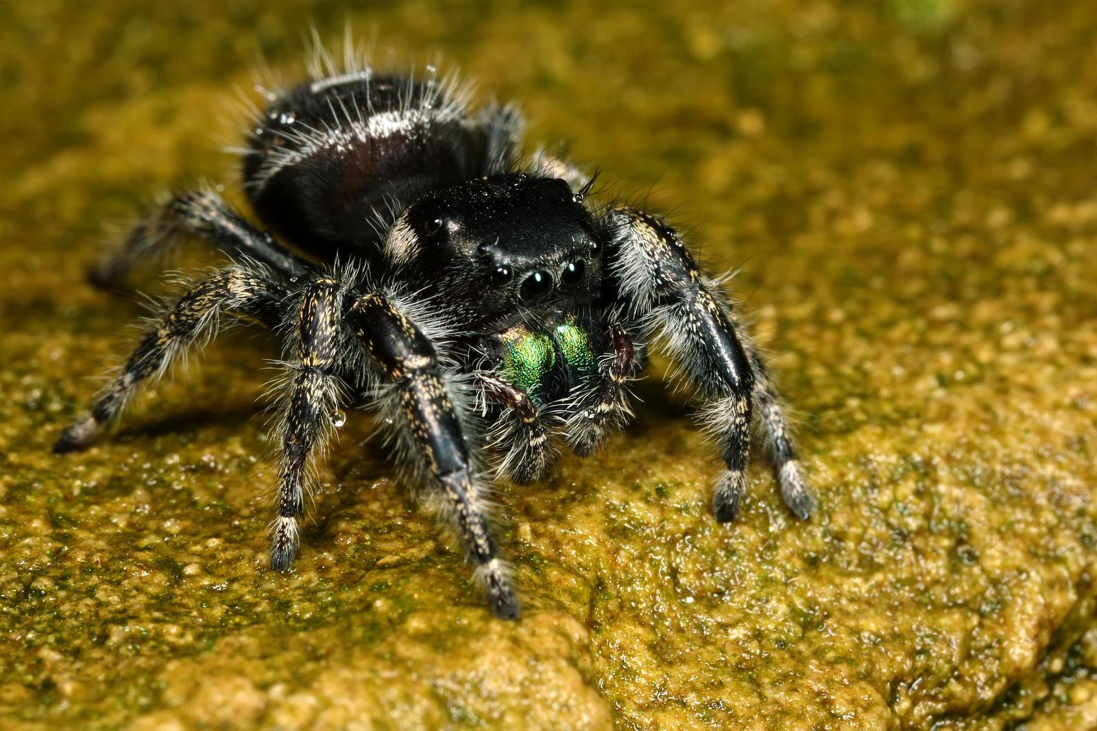Phidippus Audax Spiders Long Island