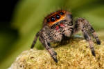 New jumping spider