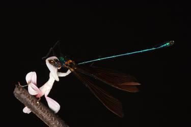 Death by a mantis