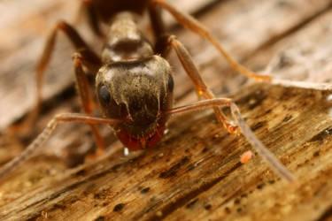 uk garden ant 5X life size
