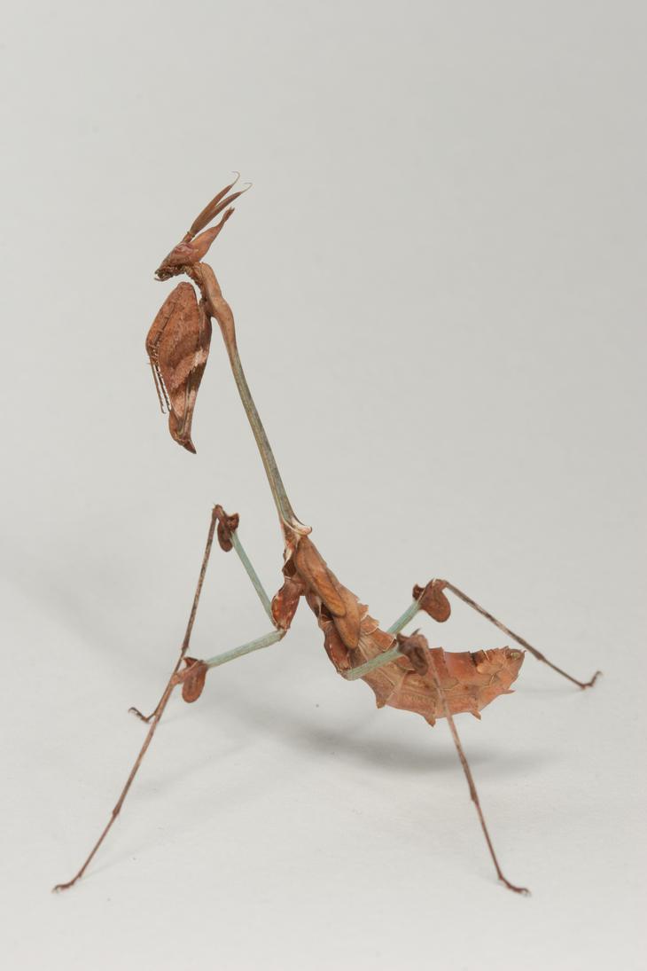 Violin mantis 1 by bugalirious-STOCK