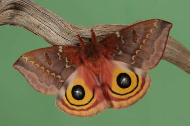 Io moth 1 by bugalirious-STOCK