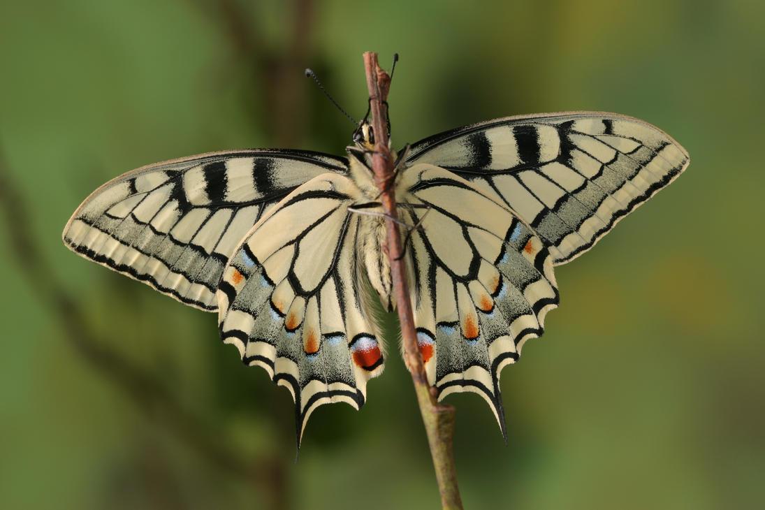 swallowtail 1 by bugalirious-STOCK