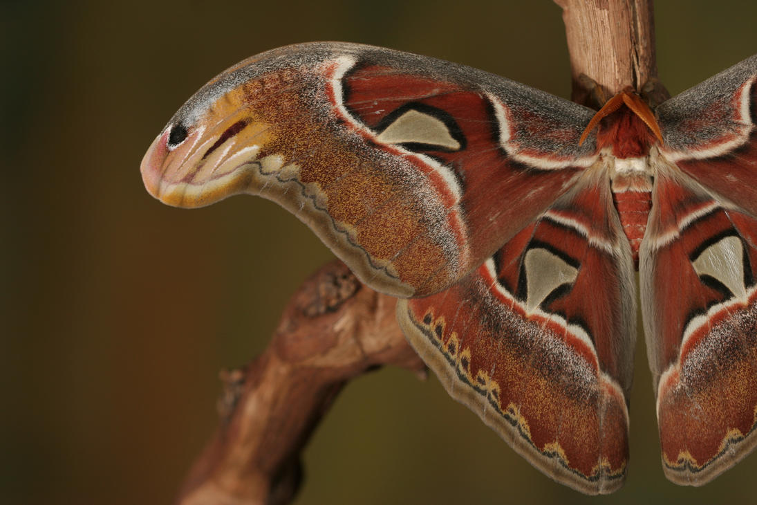 Atlas moth wing by bugalirious-STOCK