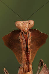 Dead leaf mantis 1 by bugalirious-STOCK