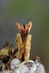 mantis portrait 2 by bugalirious-STOCK
