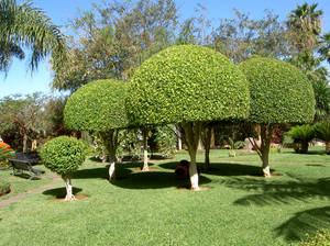 Trees in Tenerife
