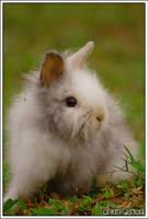 white rabbit by acidpilot