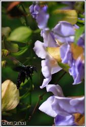 kumbang sekor.. byknye bunge by acidpilot