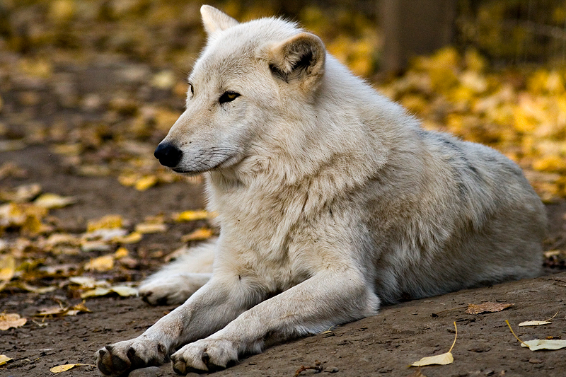 Timber Wolf by mole2k