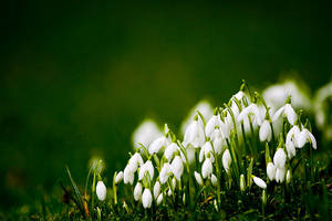 Snowdrops by mole2k