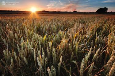 Sunset Corn by Dybcio