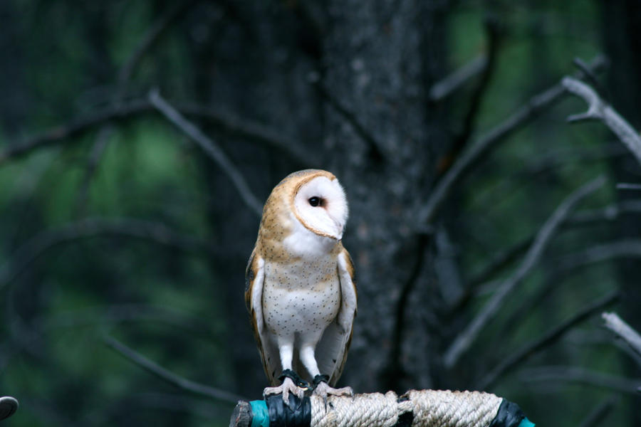 Barn Owl 2 by LuckyIrishEyes