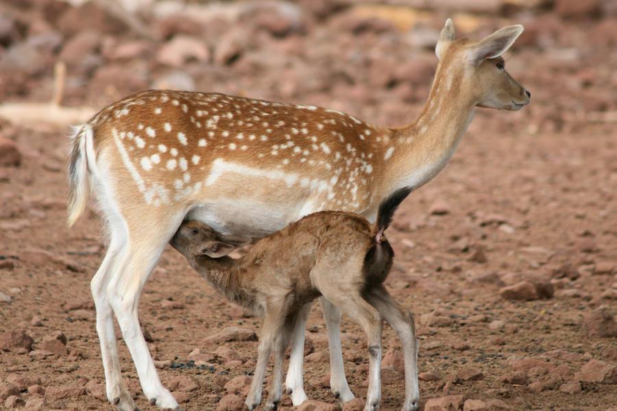 Fallow Deer Baby by LuckyIrishEyes on DeviantArt