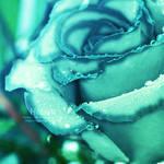 Rose by Sea-of-wonders