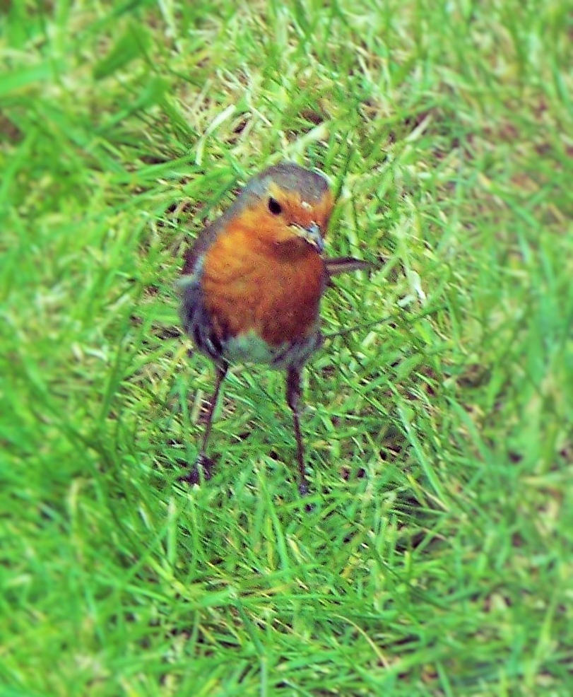 Our local Robin by MikeGould