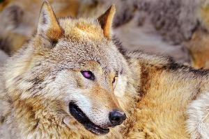 Yet again another wolf... by DarkStarWolf07