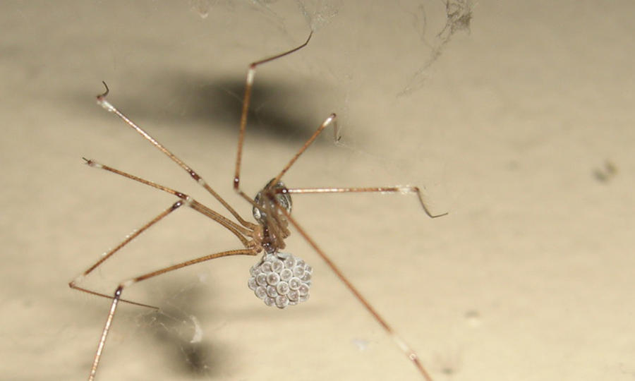 how to kill house spider eggs