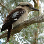 on the old gum tree