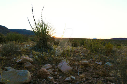Yucca And Sunset