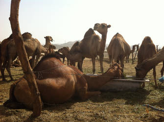 Arabian Camels by Nadia2003
