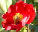 Buzy Bee and Rose