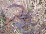 Black Locust Snakes... not