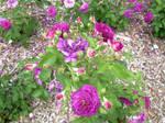 Purple Rose Life