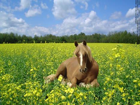 Horse In Poppy Field
