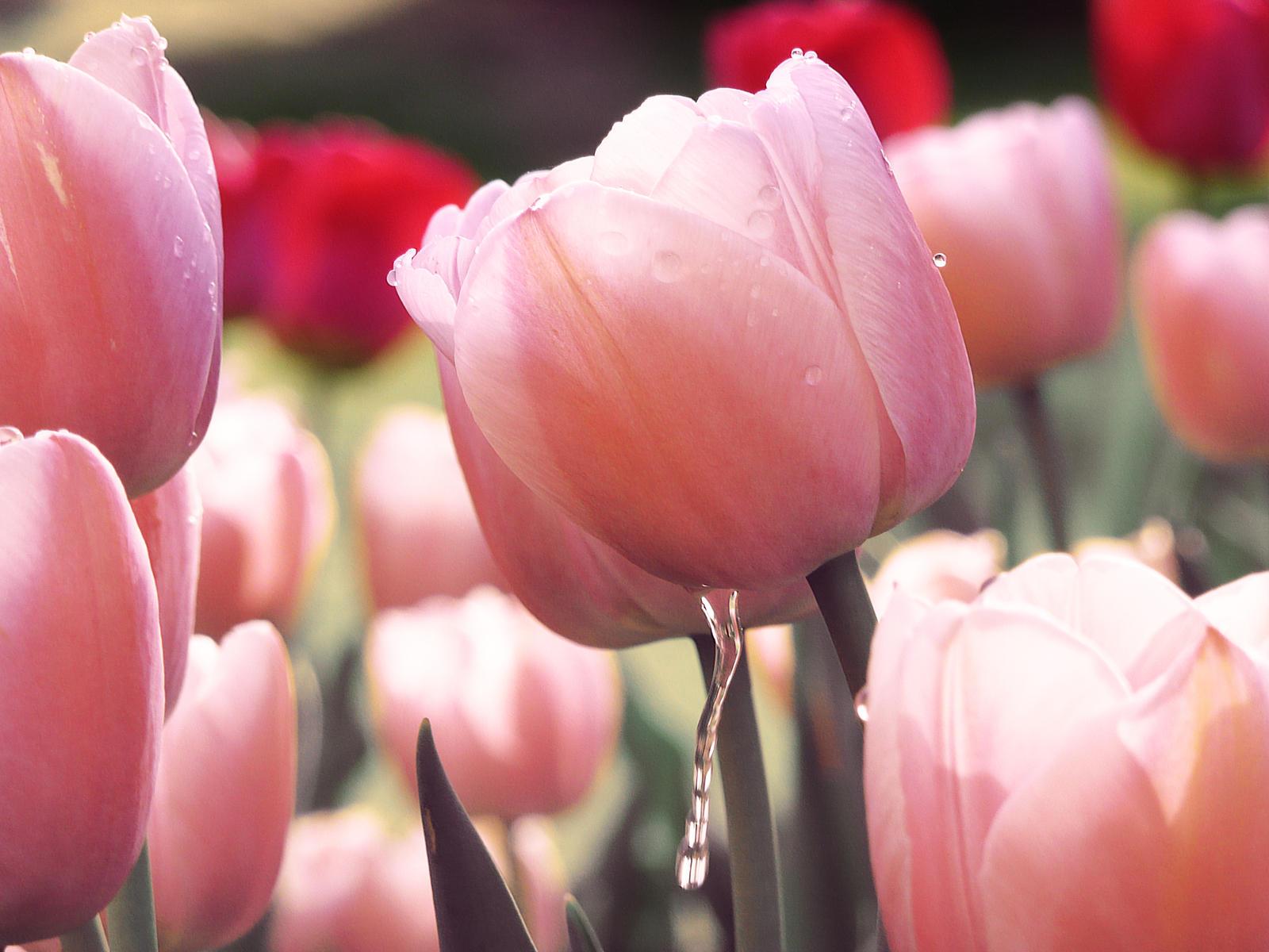 tulip garden wallpaper by rhyeen on deviantart, Garden idea