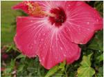 Hibiscus Drops