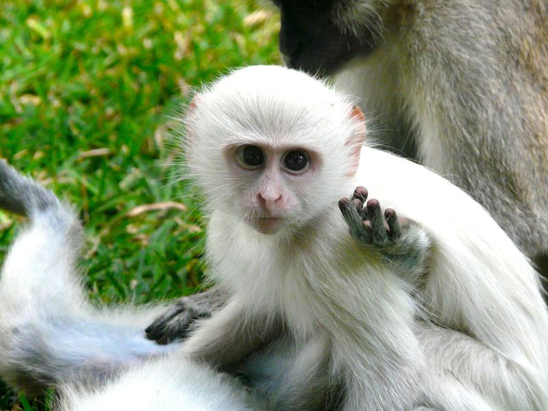 Модная обезьянка фото