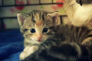 Kitten - 3 by Saekaeru