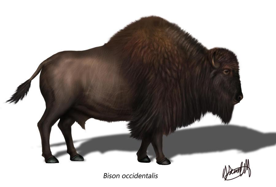 Bison occidentalis