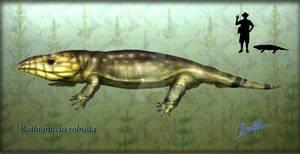 Rothianiscus robusta