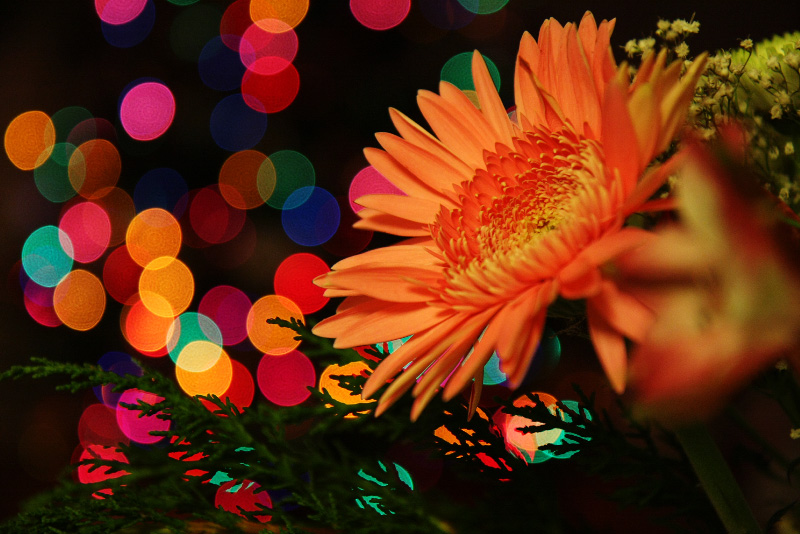 Gerbera Daisy at Christmas by froggynaan