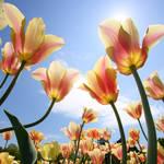 Towering Tulips
